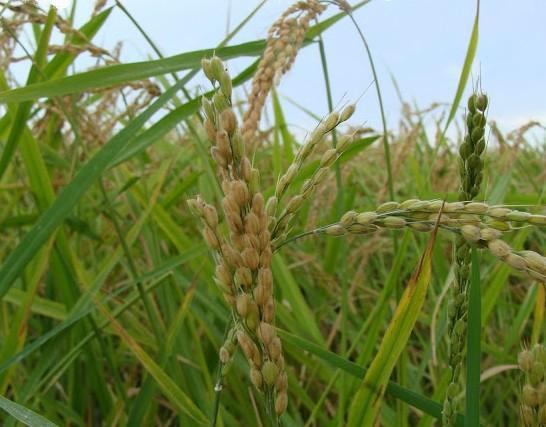 La variedad Albufera, el arroz de las mejores paellas, un referente gastronómico